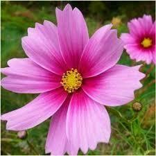 Pretty in Pink Annual Cosmos Flower Garden Seeds 400 Seeds