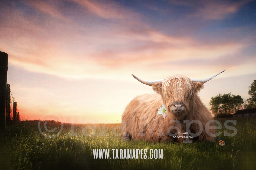 Highland Cow in Field- Spring Scene Farm Scene - Country Digital - Creamy Soft Sunset  Photoshop Digital Background / Backdrop