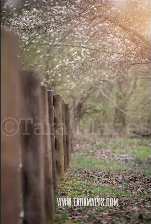 Fence by Cherry Blossom Trees - Pear Trees - Country Fence - Farm Orchard  Flowering Trees Digital Background / Backdrop