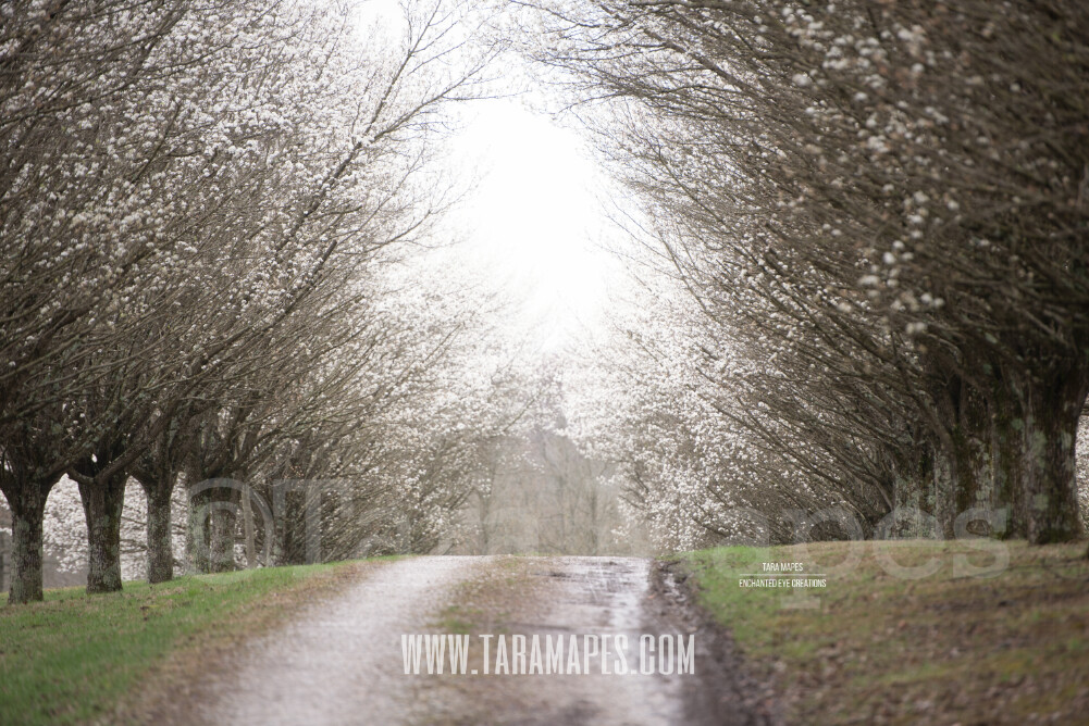 Cherry Blossom Trees - Pear Trees - Tree lined Road - Dirt Road - Country Road - Flowering Trees Digital Background / Backdrop