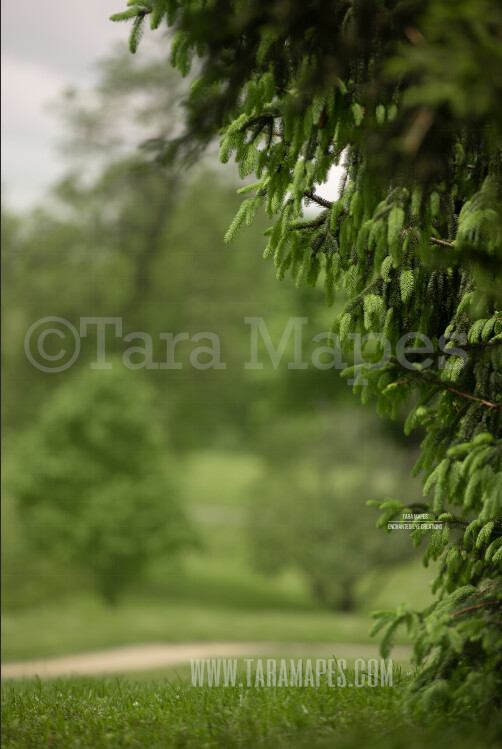 Pine Portrait Background- Spring Background - Creamy Forest Digital Background by Tara Mapes