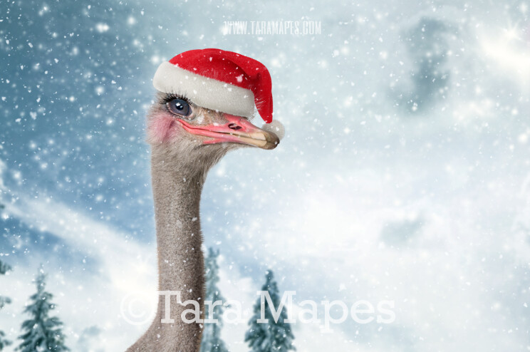 Smiling Ostrich in Snow - Christmas Ostrich -Free Snow overlay - Snowy Scene with Funny Animal- Christmas Holiday Digital Background Backdrop
