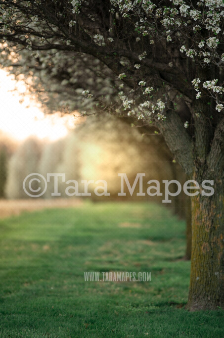 Cherry Blossom Tree - Flowering Tree with Glowing Sun - Creamy Bokeh Digital Background by Tara Mapes