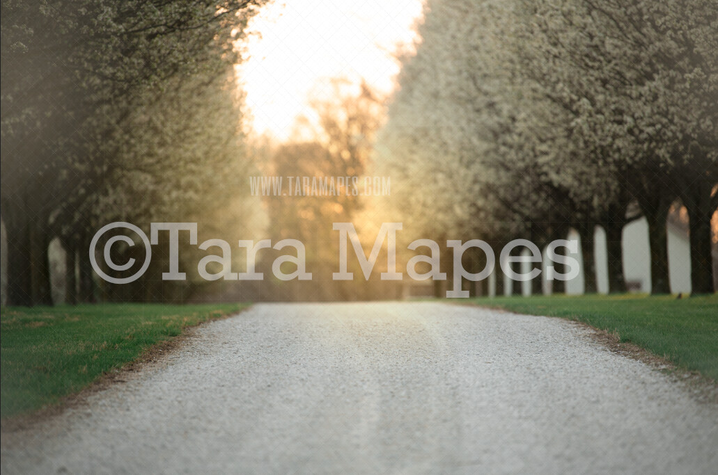 Flowering Trees - Cherry Blossoms Dogwoods - Blossoming Trees on Gravel Road - Spring Path with Glowing Sun - Digital Background by Tara Mapes