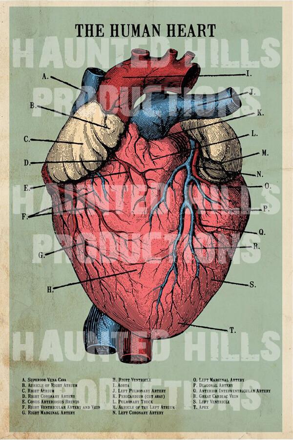 Human Heart Vinyl Poster