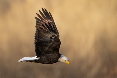 Bald Eagle in Flight - Print
