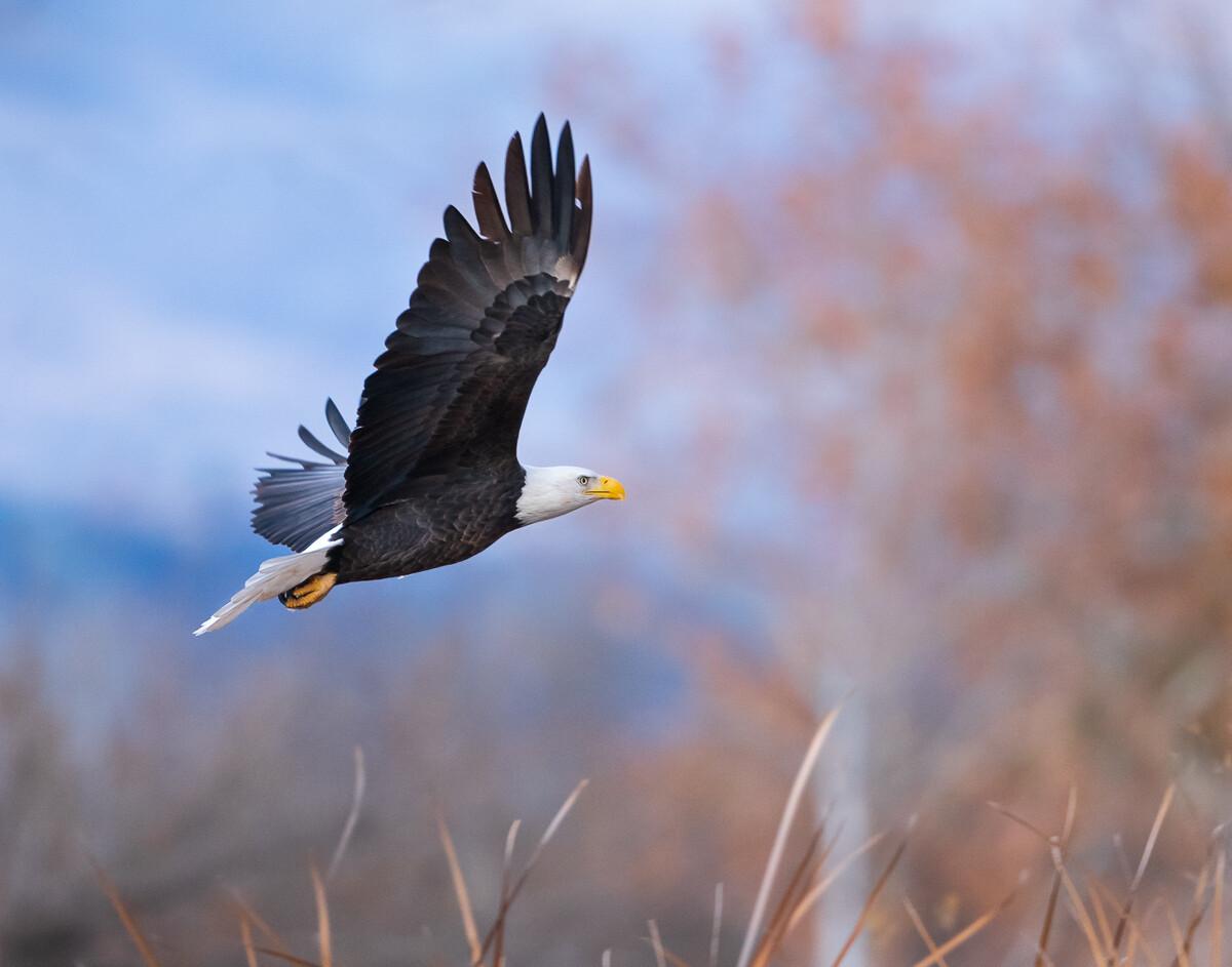 Bald Eagle in Flight - Print
