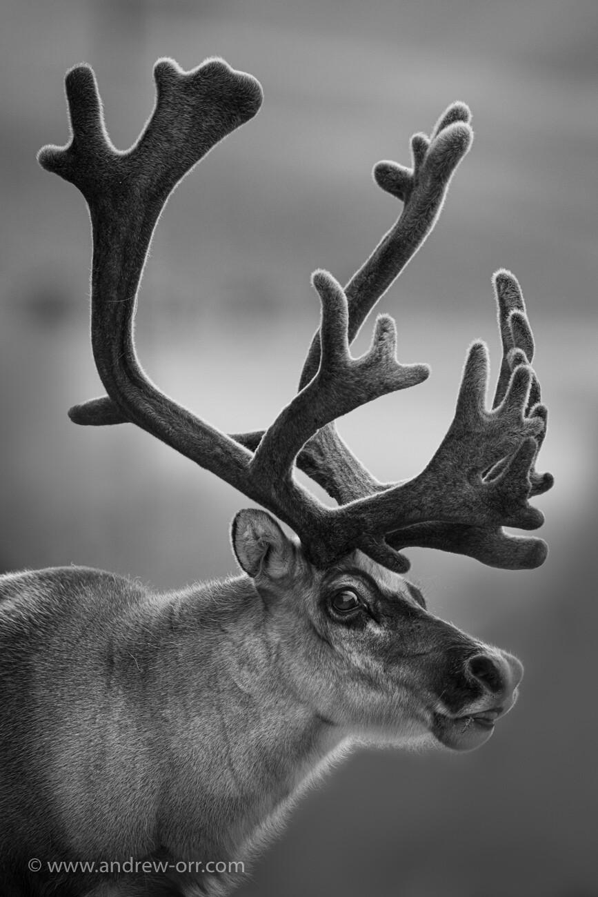 Svalbard Reindeer - Print