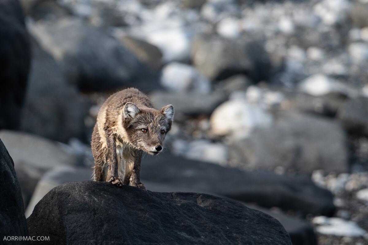 Arctic Fox 1 - Print
