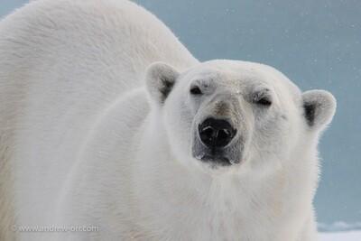 Polar Bear 1 - Print