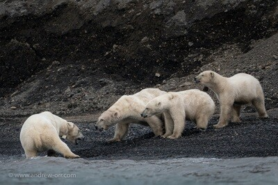 Polar Bears Feeding - Print