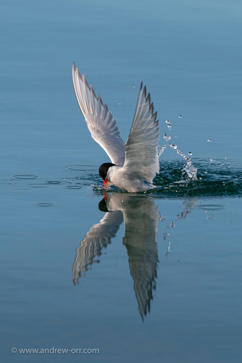 Arctic Tern - Print