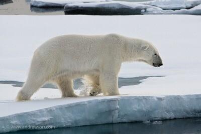 Polar Bear 2 - Print
