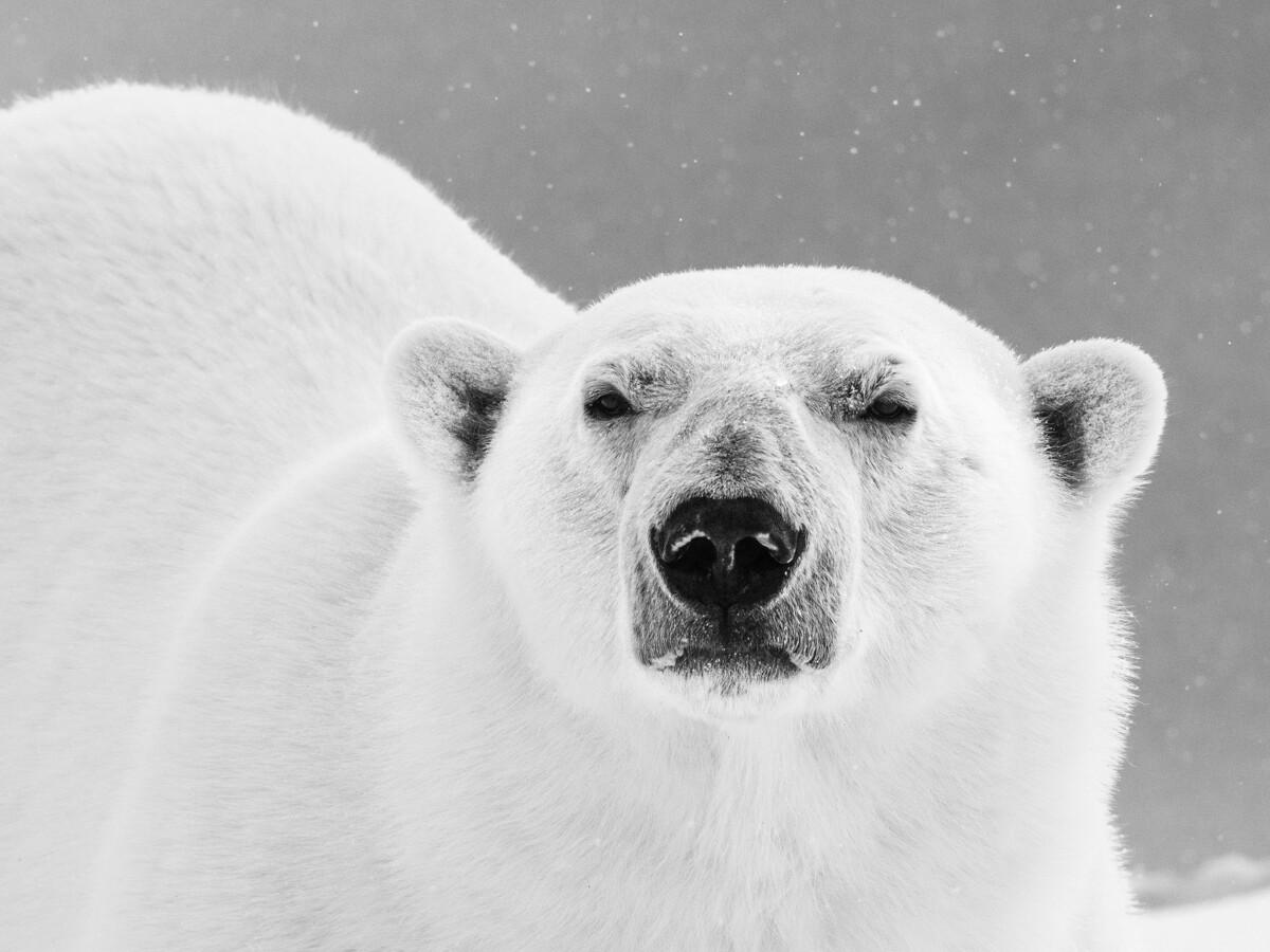 Polar Bear Up Close - Print