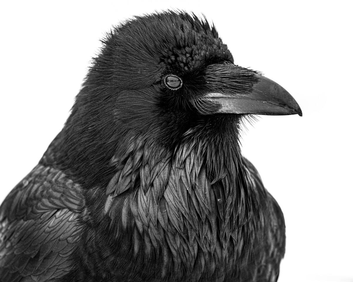 Raven Portrait - Print