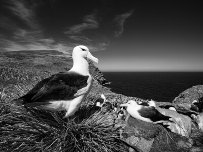Black-Browed Albatross Landscape - Print