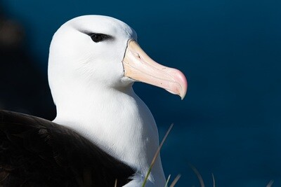 Black-Browed Albatross Portrait - Print