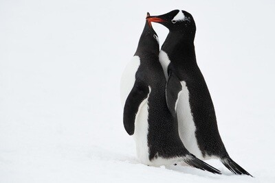 Pair of Gentoo Penguins - Print