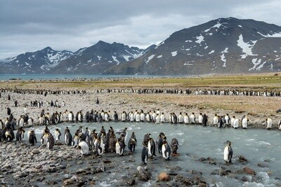 King Penguins at St. Andrews Bay - Print