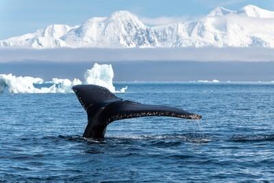 Humpback Whale Fluke - Print