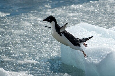 Adelie Penguin Jumping - Print