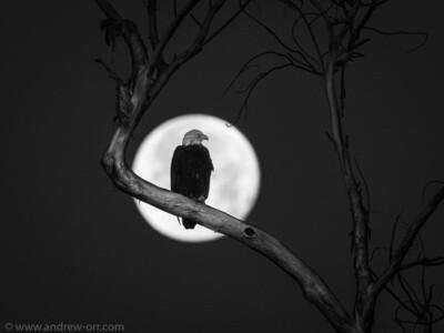 Bald Eagle and Full Moon - Print