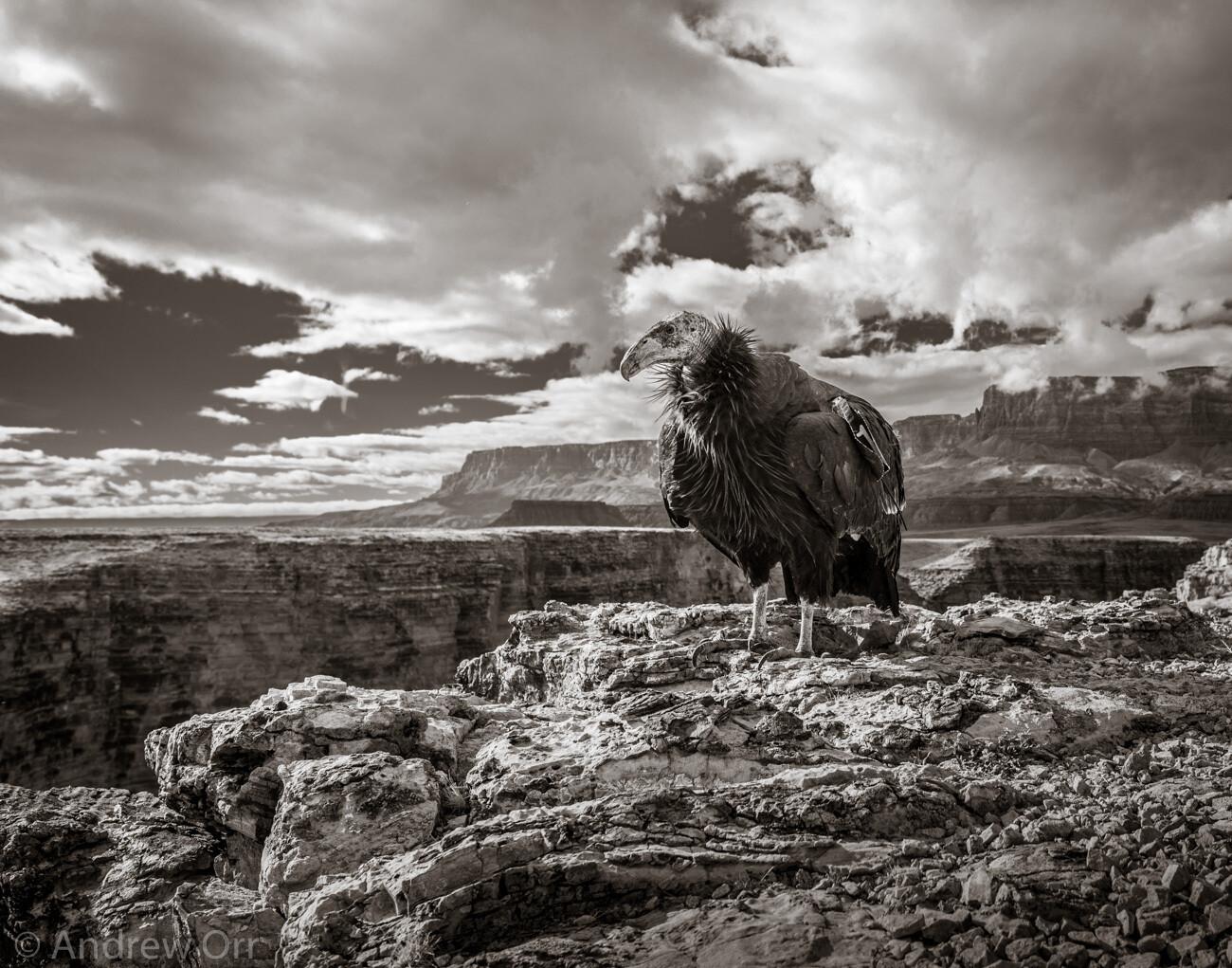 California Condor with Vermilion Cliffs - Print