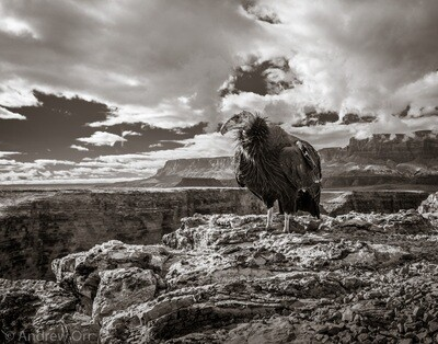 California Condor with Vermilion Cliffs - Print