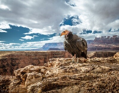 California Condor with Vermilion Cliffs - Color Print