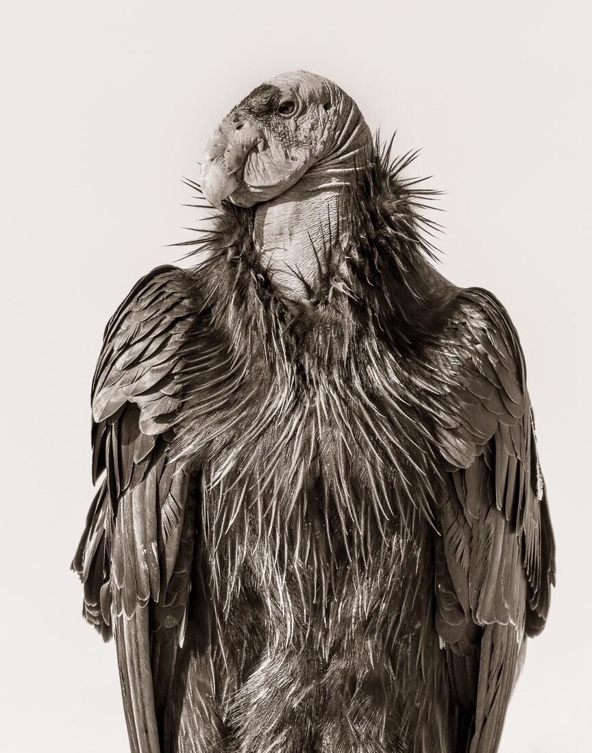 California Condor #342 - Print
