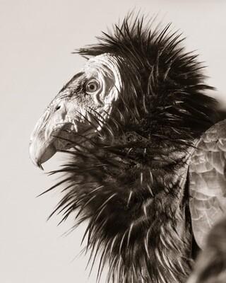 California Condor #203 - Print
