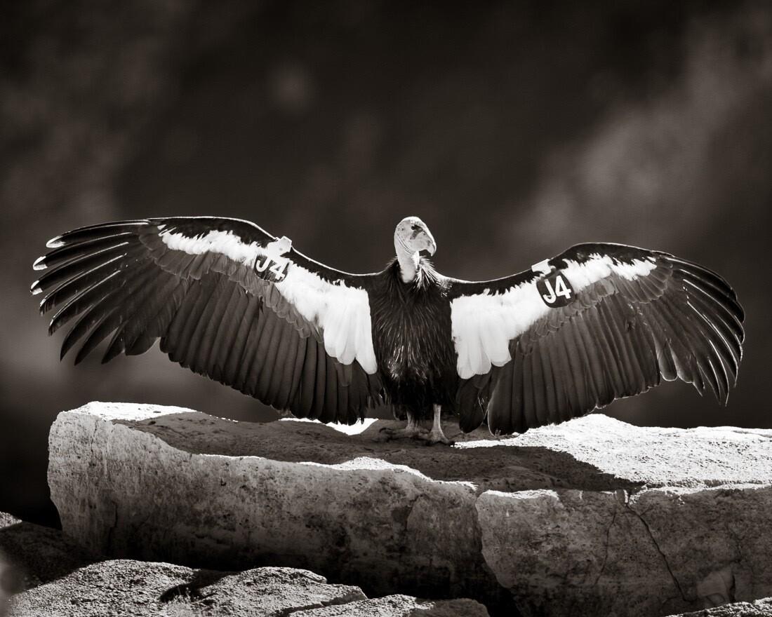 California Condor #541 (J4) - Print