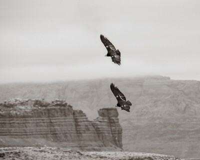 California Condor #114 - Print