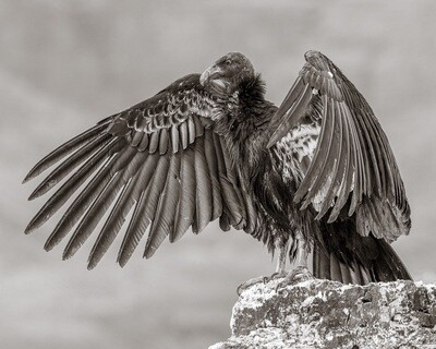 Young California Condor with Outstretched Wings - Print