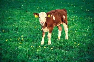 Un tarissement maîtrisé pour des veaux en bonne santé : prévenir les antibiorésistances dans l'élevage (Janvier + Lieu à définir)