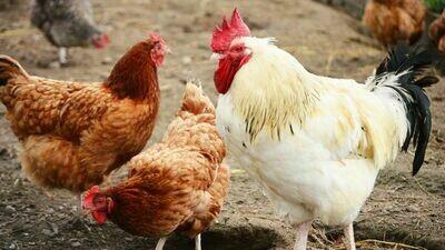 Biosécurité en élevage avicole (04 mars - Ecole Valentin)