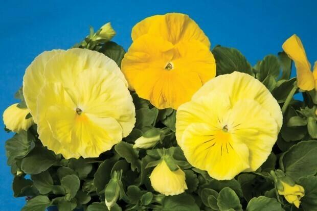 Lemon Shades Pansy