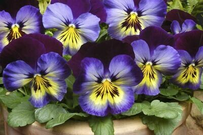 Spring Matrix Midnight Glow pansy 4 pack