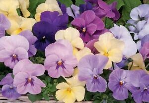 Panola Silhouette Mix pansy 4 pack