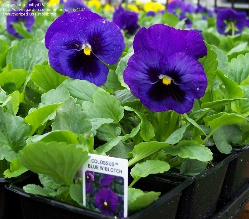 Colossus Deep Blue with Blotch  pansy 4 pack