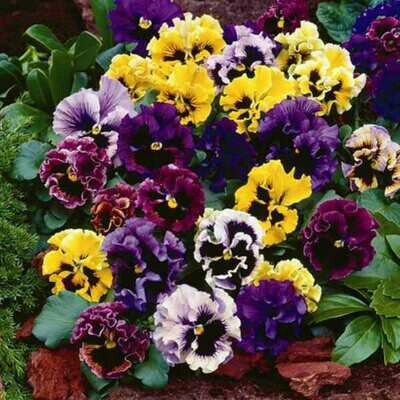 Frizzle Sizzle Mix pansy 4 pack