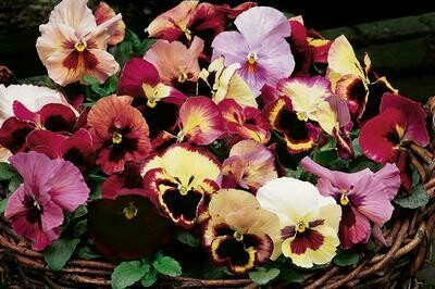 Delta Premium Tapestry 4 pack pansy