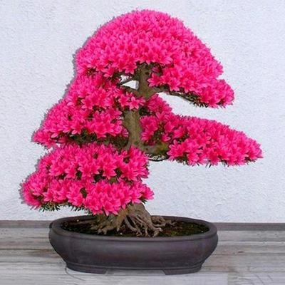 Семена декоративной сакуры