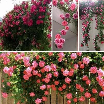 Семена плетистых роз