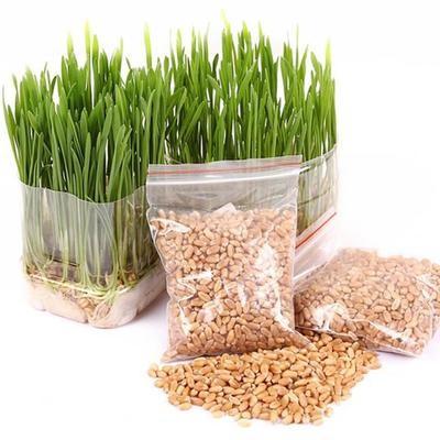 Семена для кошачьей травы, 400 шт