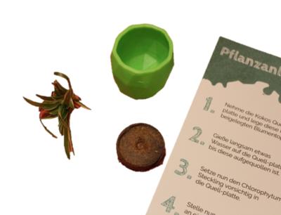 DIY Pflanzset Chlorophytum