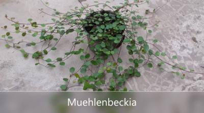 Muehlenbeckia