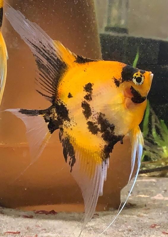 Select Ultimate Coverage Koi Angelfish