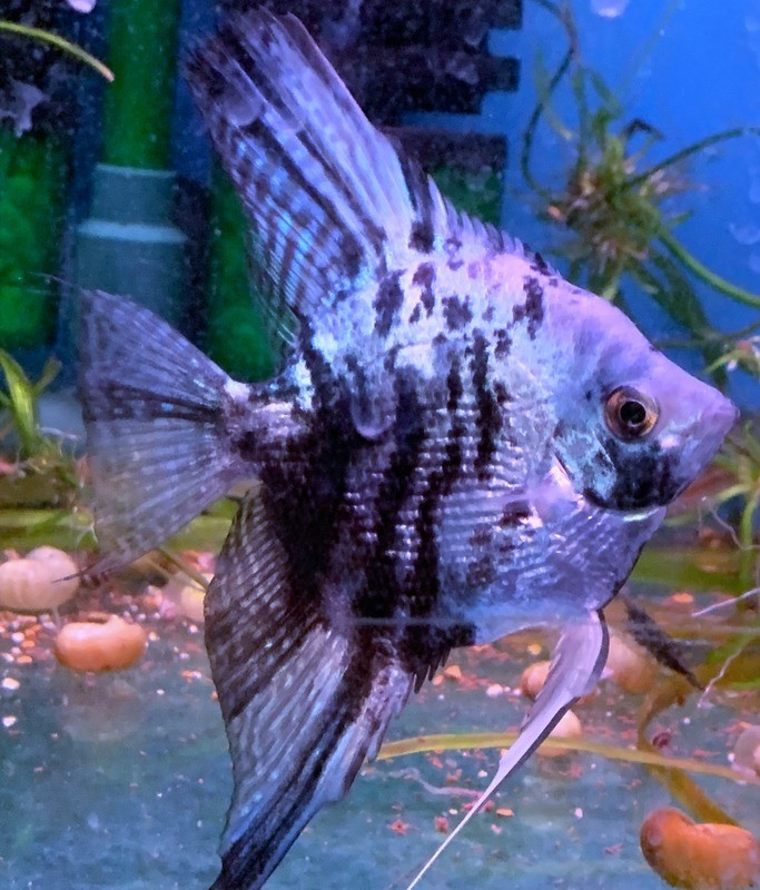 Philippine Blue Marble Pearlscale Widefin Angelfish