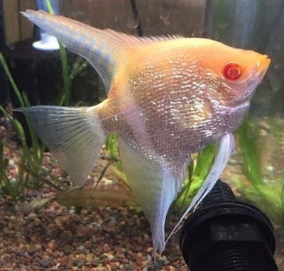 Albino Pearlscale Angelfish